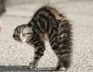 gatto-inarcato-perche