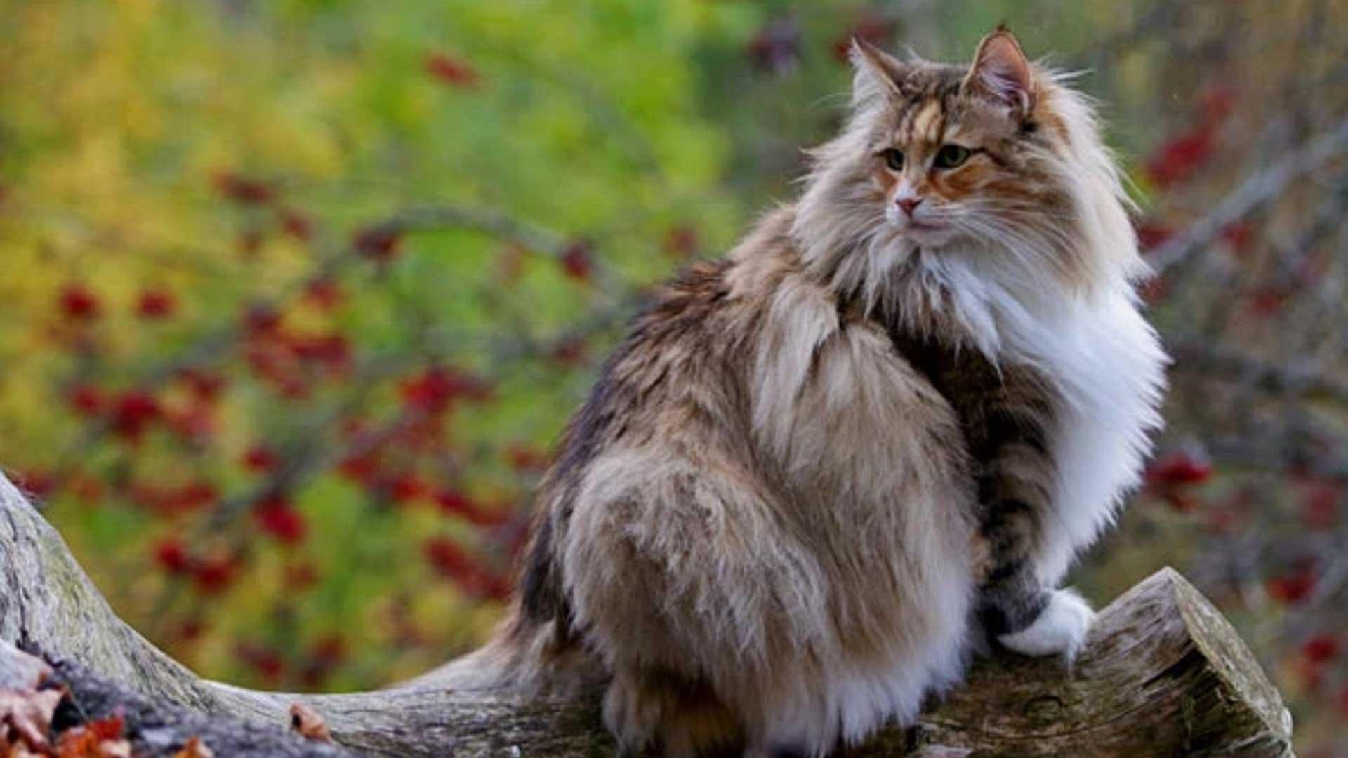 Norvegese delle Foreste: il gatto dei Vichinghi