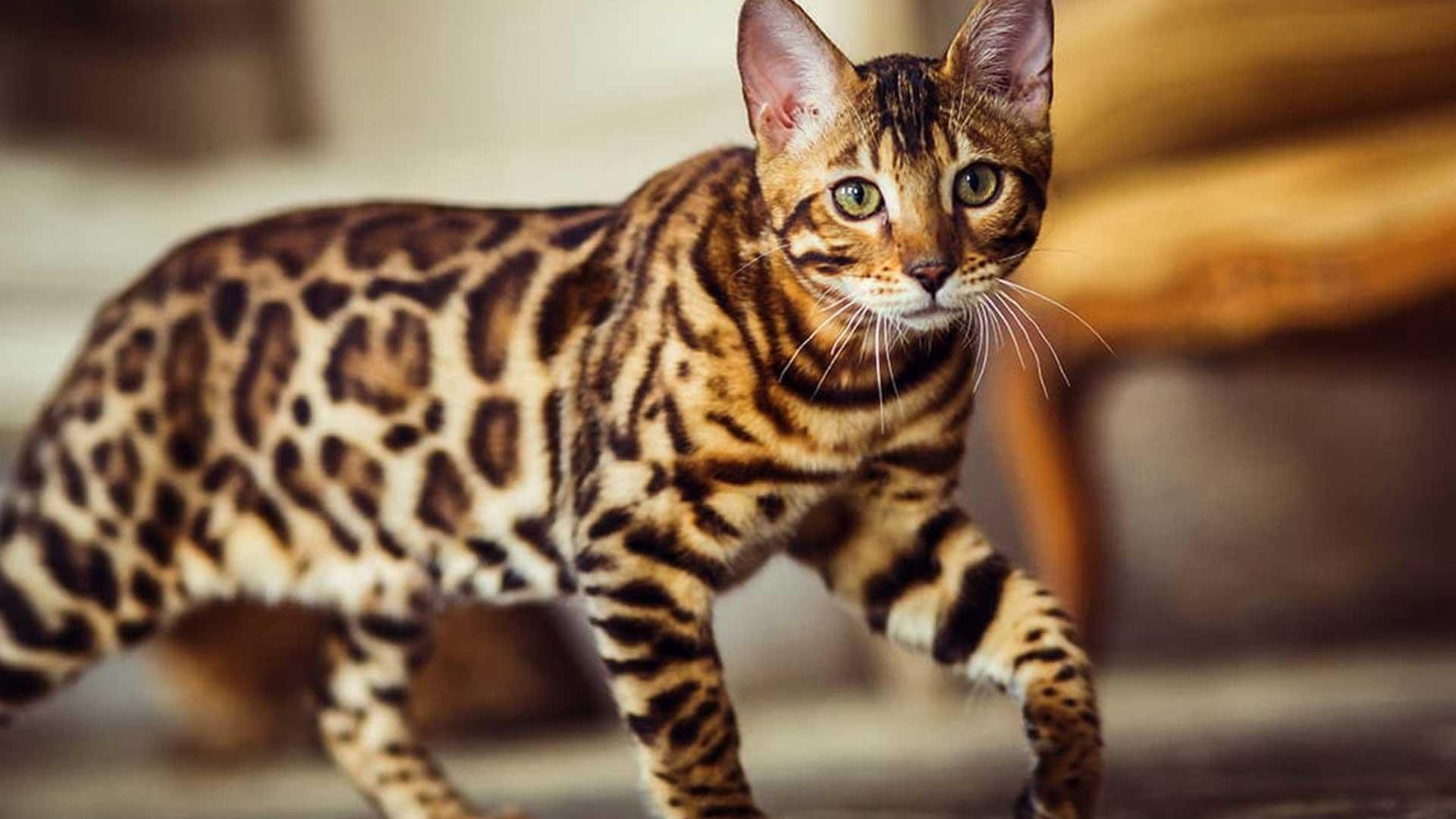Bengal o Gatto del Bengala: il 'micio leopardo'