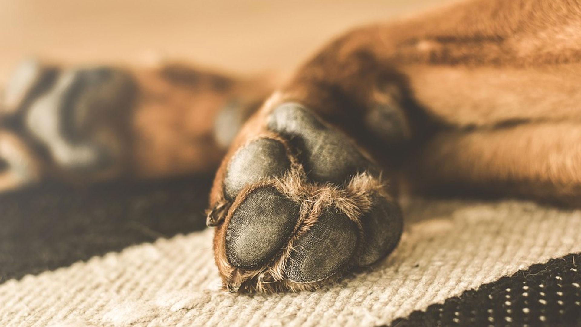 Come si puliscono le zampe del cane?